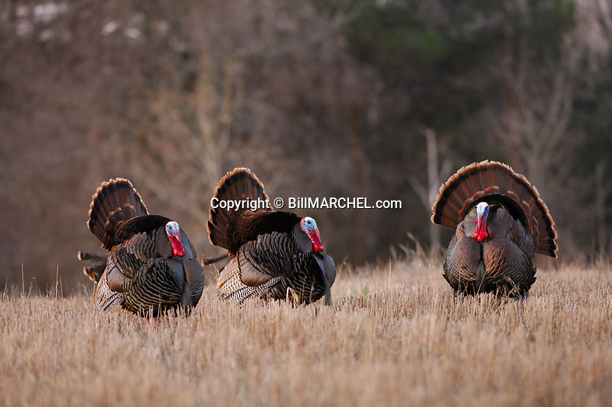 01225-081.14 Wild Turkey (DIGITAL) Three eastern toms are strutting in a field during early spring.  Hunt, breed, gobble, bird.  H2E1