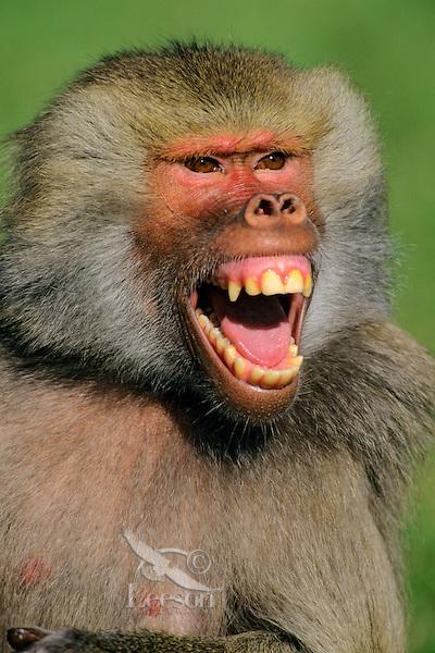 Hamadryas baboon (Papio hamadryas).  The smallest of the baboon species.
