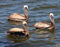Three adult brown pelicans waiting for scraps at a fish-cleaning station