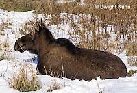 MS20-014z  Moose - Cow in the winter - Alces alces.
