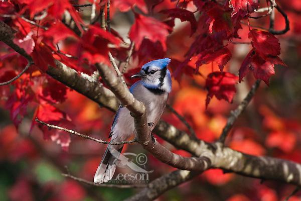 Blue Jay (Cyanocitta cristata) in red maple tree.  Autumn leaves. Nova Scotia, Canada.