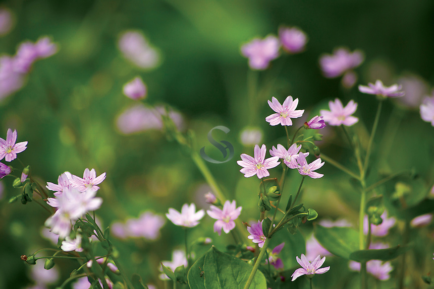 Wood Sorrel (Oxalis Acetosella), Mouse Water