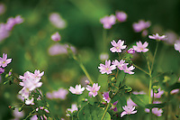 Wood Sorrel (Oxalis Acetosella), Mouse Water