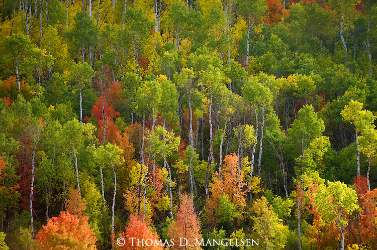 Brilliant fall color in an aspen and maple forest in Wasatch-Cache National Forest, Utah.