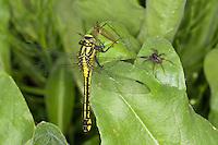 Gemeine Keiljungfer mit Beute, Gomphus vulgatissimus, club-tailed dragonfly, Common Clubtail, Common Club-tail, Flußjungfer, Flussjungfer, Gomphidae
