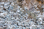Snow Leopard (Panthera uncia) male with collar, camouflaged in rocky ravine, Sarychat-Ertash Strict Nature Reserve, Tien Shan Mountains, eastern Kyrgyzstan