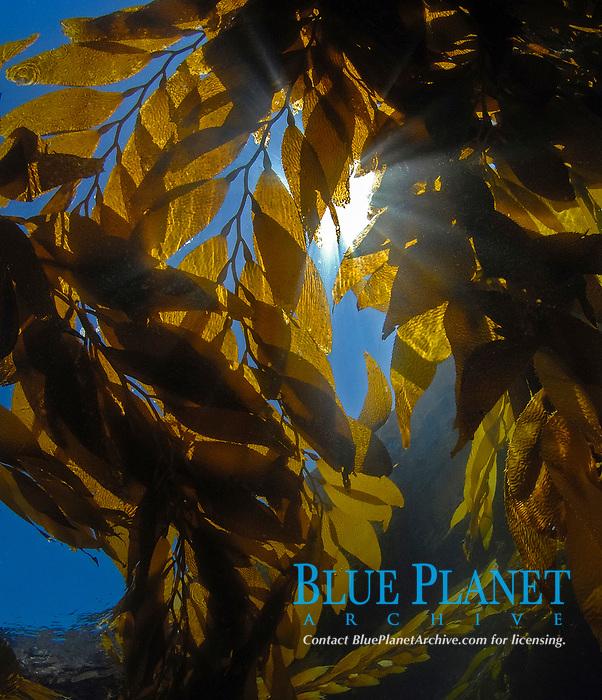 Canopy of giant brown kelp, Macrocystis pyrifera, Anacapa Island, Channel Islands, California, USA, Pacific Ocean