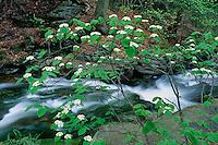 Hobblebush in Ganoga Glen<br /> The Glens Natural Area<br /> Ricketts Glen State Park<br /> Luzerne County,  Pennsylvania