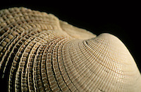 Detail of a textured surface of a seashell.