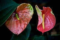Two anthuriums at at Hawaii Tropical Botanical Garden near Onomea Bay in Papa'ikou near Hilo, Big Island of Hawai'i.