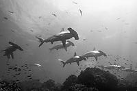 Hammerhead sharks, schooling, black and white / grainy, Wolf Island, Galapagos, Ecuador, Sphyrna lewini, Galapagos, Ecuador (E. Pacific Ocean)