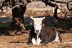 Brazoria County, Damon, Texas; a black and white spotted cow resting under a tree in the early morning sunlight