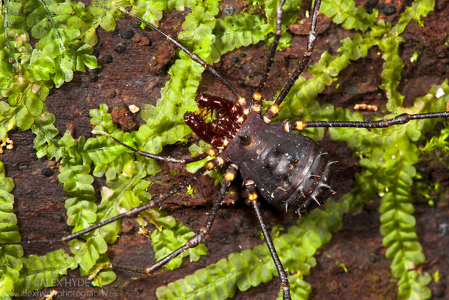 Spiny Harvestman {Opiliones} on mossy log in montane rain forest. Andasibe-Mantadia NP, Eastern Madagascar.