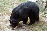 American black bear facing left full body view.
