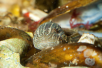 Großer Scheibenbauch, Liparis liparis, sea snail, sea-snail, common seasnail, striped seasnail