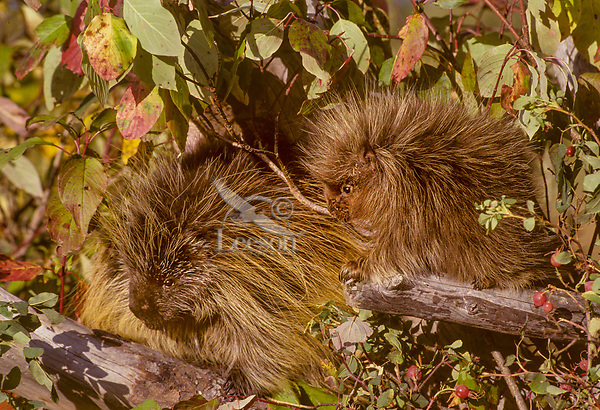Porcupine mom with young (Erethizon dorsatum).  Montana.  Fall.