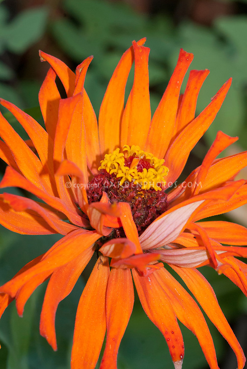 Zinnia elegans Mighty Lion, orange-red double annual flowers