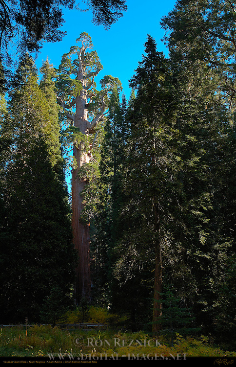 General Grant Tree, Giant Sequoia, Sequoiadendron giganteum, Grant Grove in Autumn, King's Canyon National Park