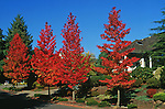 11165-CD Palo Alto Sweet Gum, Liquidambar styraciflua `Palo Alto', street trees in fall color, at Lake Oswego, Oregon