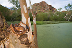 Black-headed python (Aspidites melanocephalus)perched on a tree by the edge of a watering hole
