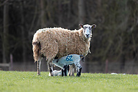 9.3.2021 Ewe with lamb <br /> ©Tim Scrivener Photographer 07850 303986<br />      ....Covering Agriculture In The UK....