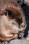 North American Beaver eating, close-up, vertical