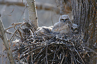 Great Horned Owl (Bubo virginianus) chicks in nest. This species does not build its own nest but occupies the nest of another species from a  previous season. Okanogan County, Washington. April.