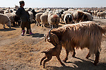 A she-goat licks her new-born kid as a flock makes its way through the countryside in Zhari District, Kandahar, Afghanistan. The violently contested district sits astride the strategically Highway 1 ringroad between Kandahar and Lashkar Gah and is seen by some as the birthplace of the Taliban movement.