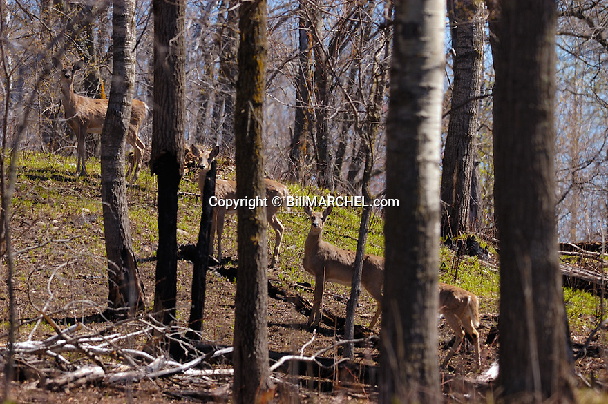 00275-193.09 White-tailed Deer (DIGITAL) group of four pause on hillside while feeding on new growth in early spring.  Hunt, rebirth.  H2L1