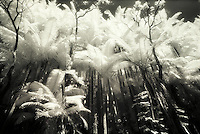 Infrared B&W palms, Onomea,Hamakua Coast
