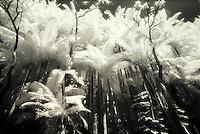 Infrared B&W palms, Onomea,Hamakua Coast