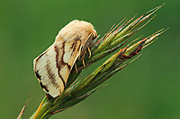 Wolfsmilch-Ringelspinner, Wolfsmilchringelspinner, Wolfsmilchspinner, Malacosoma castrense, Malacosoma castrensis, ground lackey, Ground Lackey moth, La Livrée des prés, Glucken, Lasiocampidae