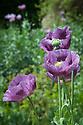 Opium poppy (Papaver somniferum), mid June.