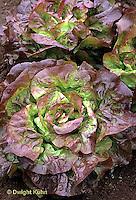 HS21-058x  Lettuce