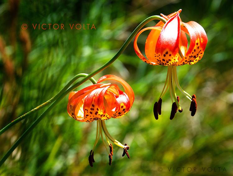 Leopard Lily - Mt. Tamalpais State Park