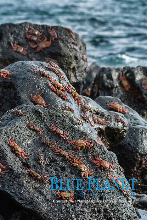 red rock crab, or Sally Lightfoot crab, Grapsus grapsus, Isla Floreana, or Floreana Island, Galapagos Islands, Ecuador