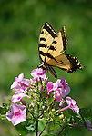 Swallow tail butterfly on Phlox
