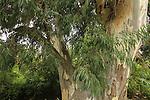 T-136 Eucalyptus tree in Nahal Shelef