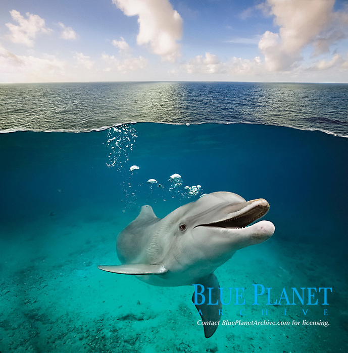 common bottlenose dolphin, Tursiops truncatus, emitting bubbles from blowhole, Cozumel, Mexico, Caribbean Sea, Atlantic Ocean, digital composite