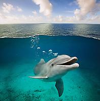 common bottlenose dolphin, Tursiops truncatus, emitting bubbles from blowhole, Cozumel, Mexico, Caribbean Sea, Atlantic Ocean, digital composite
