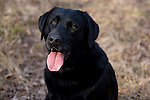 Black Labrador retriever (AKC) sitting down with his tongue hanging out.  Fall.  Winter, WI.