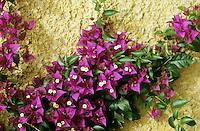 Bougainvillee, Bougainville, Drillingsblume, Kletterpflanze an Fassade, Fassadenbegrünung,  Bougainvillea spec.,