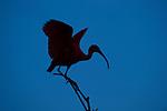 Scarlet Ibis (Eudocimus ruber). Hato La Aurora Reserve, Los Llanos, Colombia.