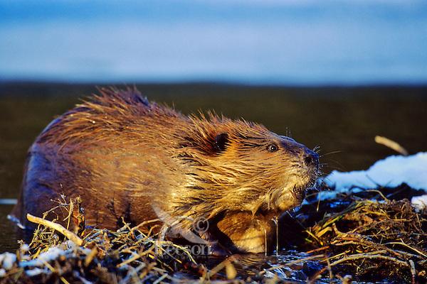 Beaver (Castor canadensis) working on beaver dam, late Fall.
