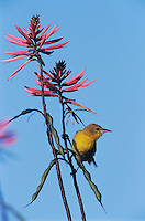 Hooded Oriole, Icterus cucullatus, female feeding on Coral Bean Blossom(Erythrina herbacea), The Inn at Chachalaca Bend, Cameron County, Rio Grande Valley, Texas, USA, May 2004