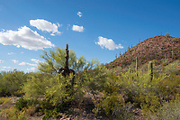 A Paloverde, Cercidium sp., and a Creosote bush, Larrea tridentata, grow around an old Saguaro cactus, Carnegiea gigantea, in Saguaro National Park, Arizona