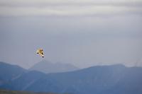 Short-eared owl in flight, Denali National Park, Alaska