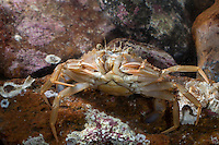 Gewöhnliche Schwimmkrabbe, Gemeine Schwimmkrabbe, Glatte Schwimmkrabbe, Liocarcinus holsatus, Macropipus holsatus, Portunus holsatus, Polybius holsatus, Flying Crab, Common swimming crab, portunid crab