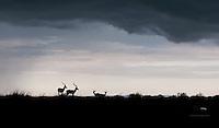 Two pairs of impala brace for evening storm, Masai Mara, Kenya.