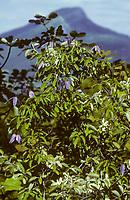Alpen-Waldrebe, Clematis alpina, Alpine clematis